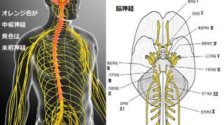 合成神経.png