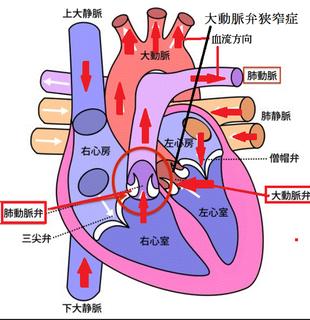 大動脈弁.png