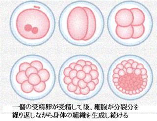 細胞分裂.png