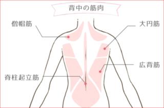 背中の筋肉.PNG